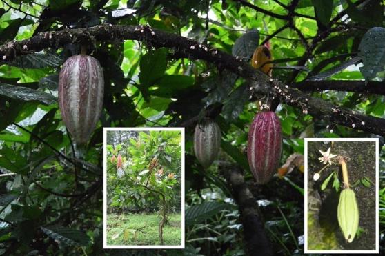 cacao-bonen-groei.jpg