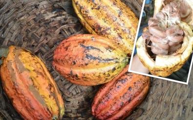 cacao-bonen-rijp-e1546777431339.jpg